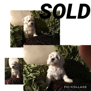 COCKAPOO ALL SOLD