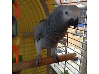 African grey parrot tamed 2 years old