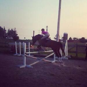 Amazing Gelding For Part Board