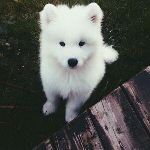 WANTED : SAMOYED DOG