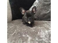 K C registered French Bulldog Puppies