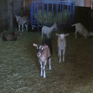 8 Alpine Goats FOR SALE