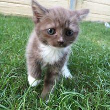 7 week old male Manx cross kitten Redcliffe Redcliffe Area Preview