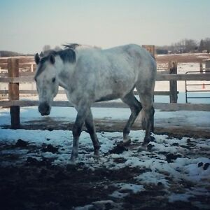 TB Gelding looking for light riding or companion home