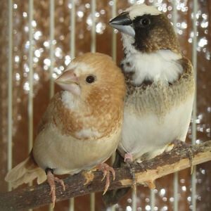 Society finches -males or females available.