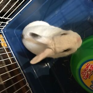 Adorable, neutered, white male bunny needs a new home!
