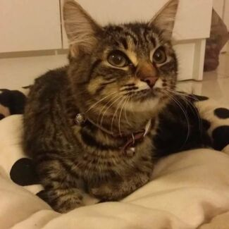 Missing 'Olly the cat' Regents Park Auburn Area Preview