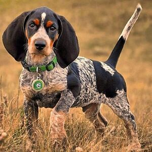Looking for a female Bluetick