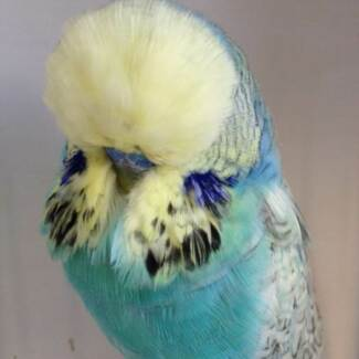 Budgies - Show Quality Club Rung Adult Cock