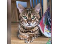 Bengal cat male