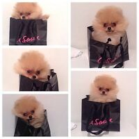 Pomeranian puppie looking for a forever home 3,000