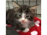Gorgeous 8 week old kittens ready now