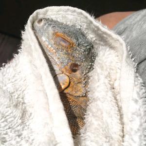 Iguane rouge  male de 1ans 100$ non nego
