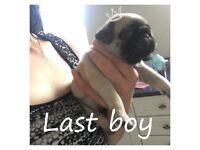 Kc fawn pug boy ready 11th August deposit secures last one