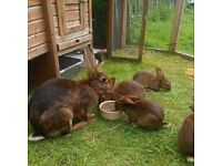 Belgian Hare kits