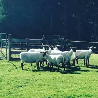 Mobile Sheep & Alpaca Shearer