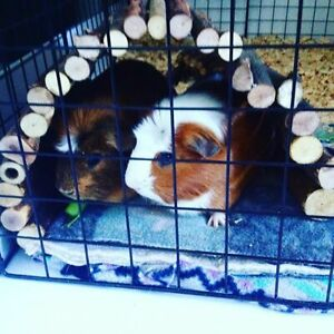 taking in unwanted or rescue guinea pigs