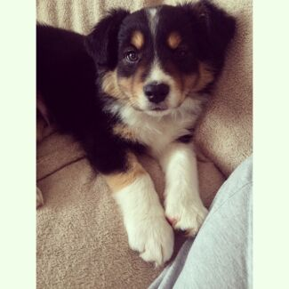 Pure breed border collie for sale Corio Geelong City Preview