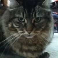 Rehoming Beautiful Maine Coon Cat