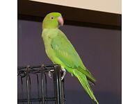 Look! Baby Ringneck Parrots