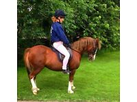 Welsh Mountain Pony for sale