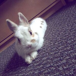 dwarf bunny for rehoming ! very sweet.