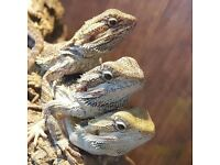 Baby bearded dragons ready NOW