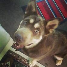 1.5 year old Male Malamute X shar-pei to good home! Bossley Park Fairfield Area Preview
