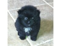 Stunning Pomeranian boy