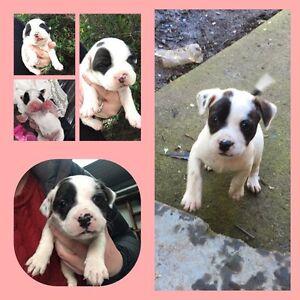 Puppy Launceston Launceston Area Preview