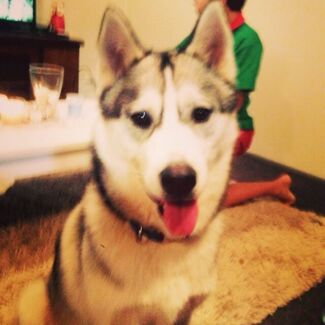 Husky puppy negotiable Bracken Ridge Brisbane North East Preview