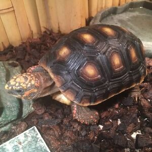 Tortue Redfoot tortoise