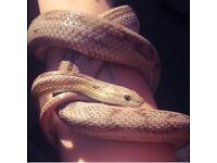 2x female corn snakes 2yrs old