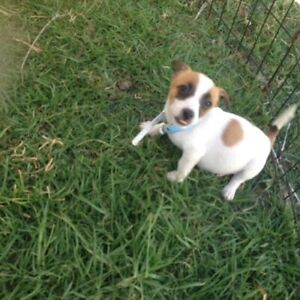 Jack Russell Tri coloured puppies for sale