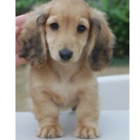 Mini Blonde or English Cream Dachshund Puppy Wanted