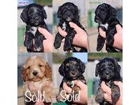 Beautiful litter of F1 Cockapoo/Cockerpoo puppies