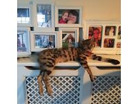 Bengal kitten 18 month old female