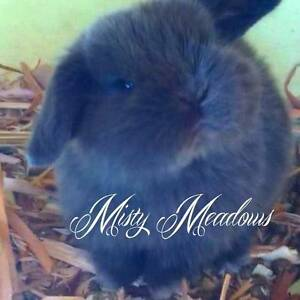 PUREBRED MINI LOPS *VACCINATED*MICROCHIP+REGISTERED*ETHICALY BRED Kurrajong Hawkesbury Area Preview