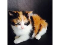 Gorgeous Calico kitten for sale