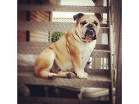 KC Reg British Bulldog