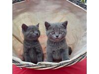 British Blue Kittens - Pedigree x2 Girls