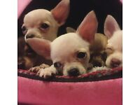 4 Fully Hand Reared Teacup Chihuahuas
