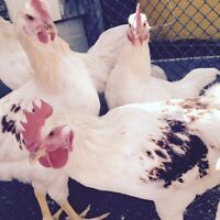white Leghorn Rooster