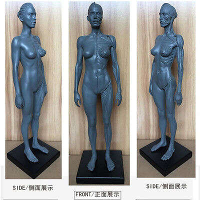 Human Anatomical Anatomy Skull Head Body Model Muscle Bone 30cm Height Female