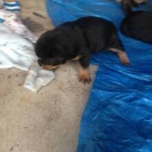 ROTTWEILER PUPS Capalaba Brisbane South East Preview