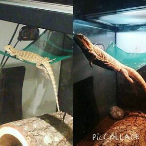 1 yr old bearded dragon and accessories London Ontario image 2