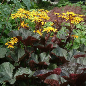 Beautiful Ligularia