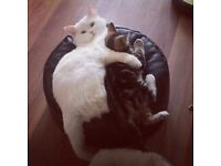 2 x Cats for sale (Persian & Tabby) - To a loving home