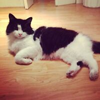 Lost Black and White Long Hair Cat