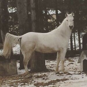 7 year old Grey/white QH mare